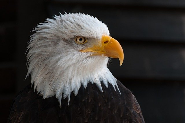 USA bald-eagles